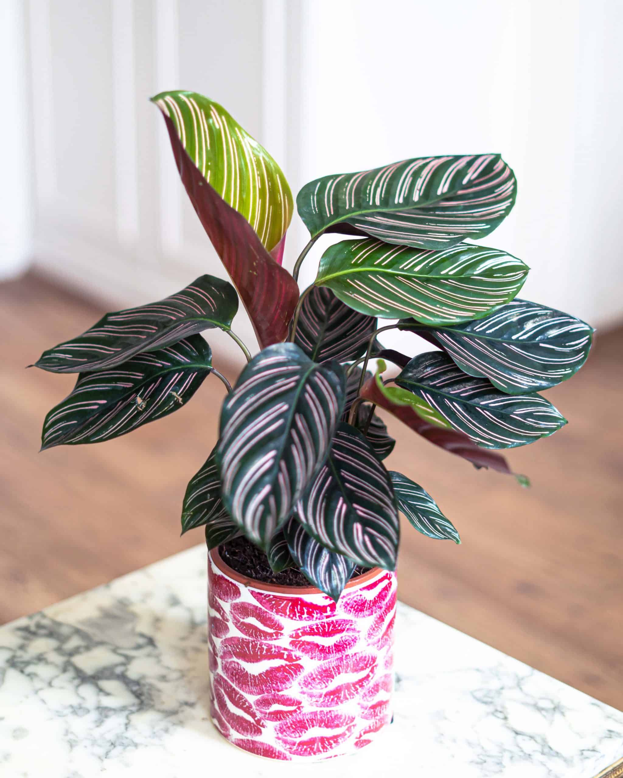 Calathea Ornata (Pinstripe Calathea) Care Guide & Tips including how to propagate the Calathea Ornata