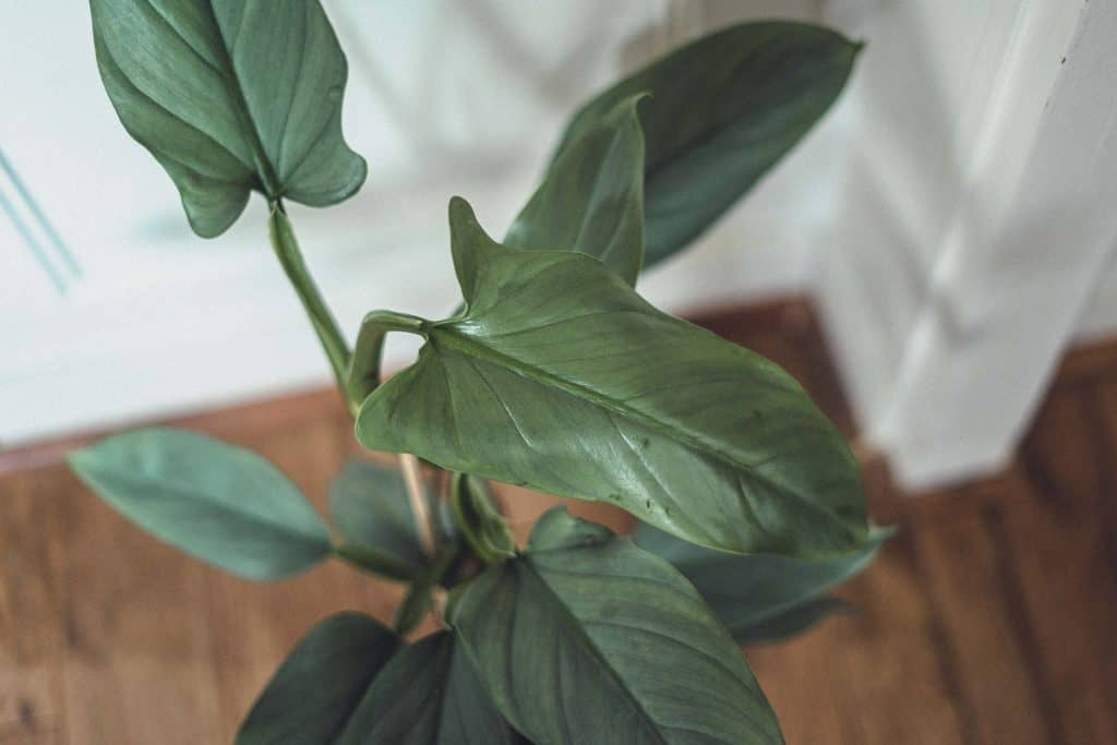 Philodendron Hastatum (Silver Sword Philodendron): Care Guide & Tips including philodendron propagation