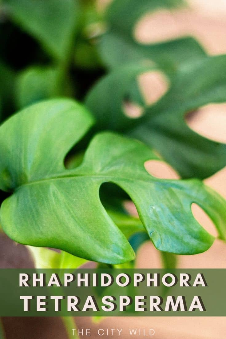 Rhaphidophora Tetrasperma (Mini Monstera) Care Guide/ propagation and watering tips