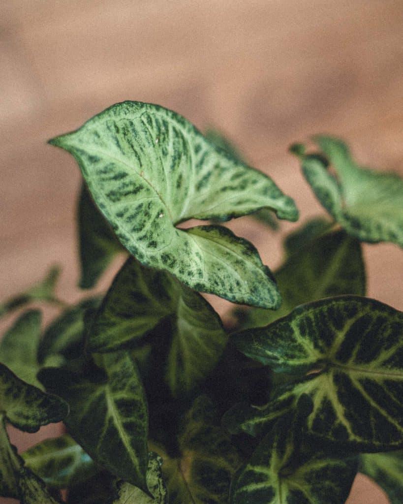 White Butterfly Syngonium Care Guide (Syngonium Podophyllum)