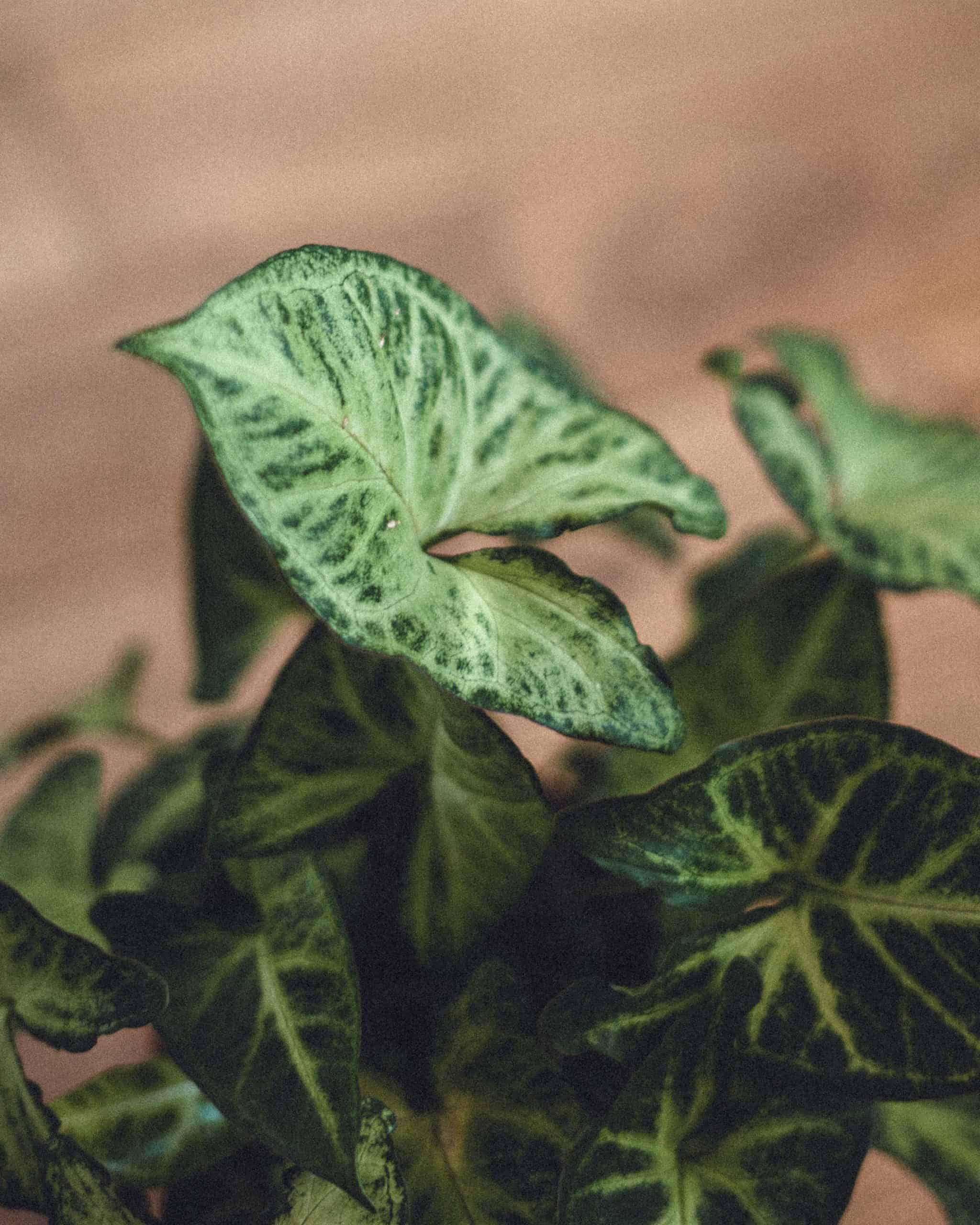White Butterfly Syngonium Care Guide (Syngonium Podophyllum)