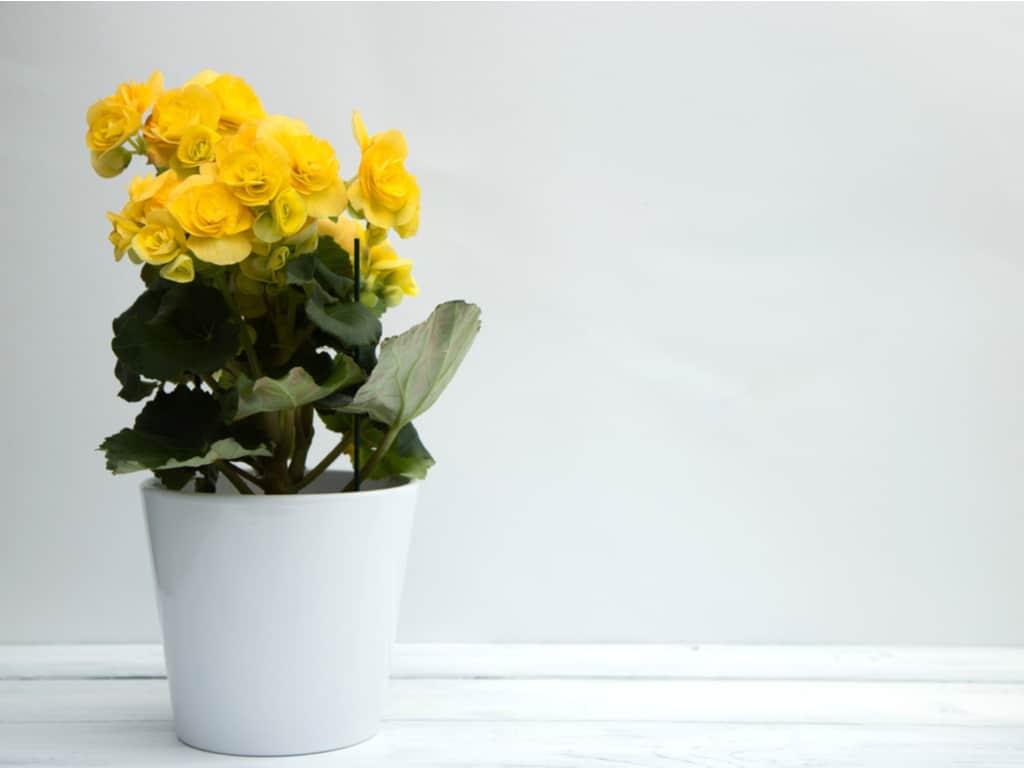 yellow begonia flowers