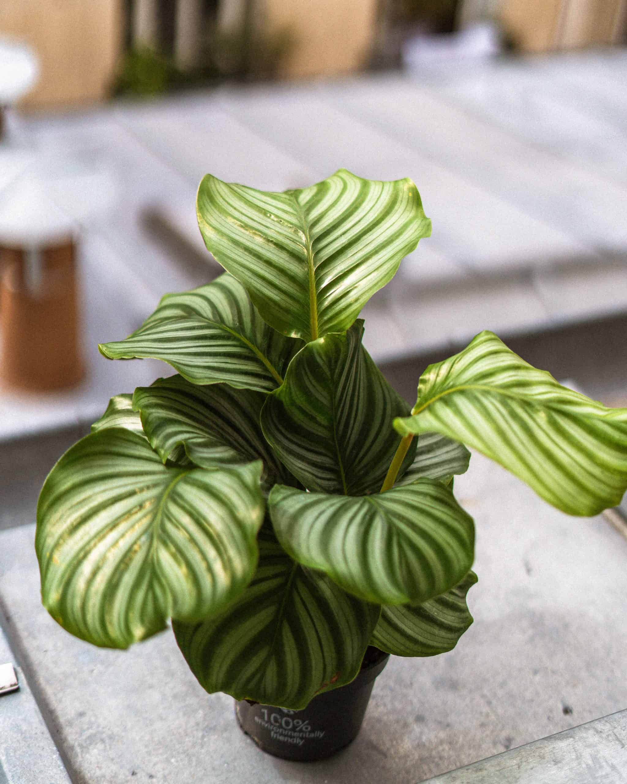 Calathea Orbifolia Care Guide: Propagation & Watering Tips