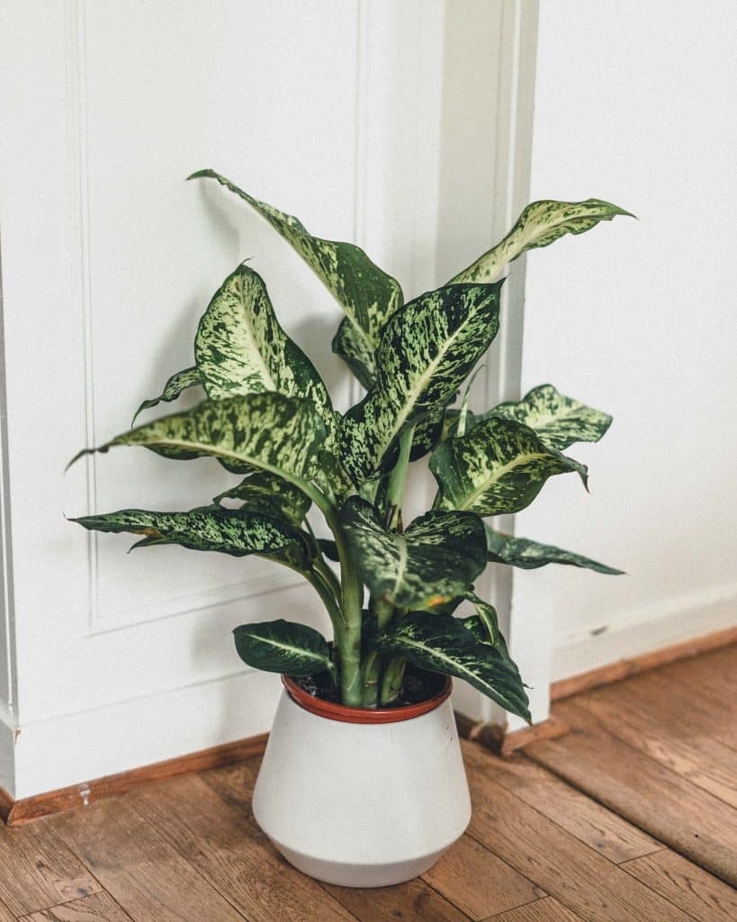 Dieffenbachia (Dumb Cane) Guide: Watering & Care Tips