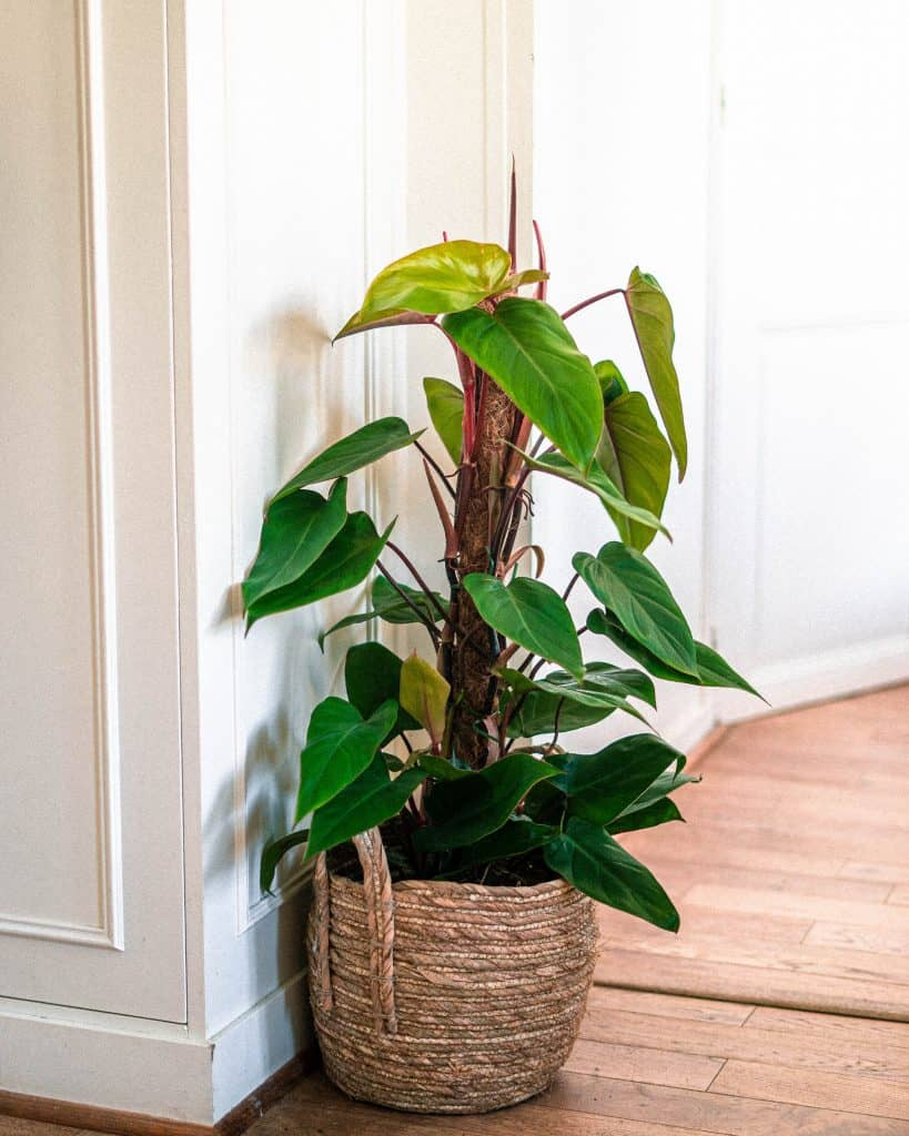 Red Emerald Philodendron Care Guide (Philodendron erubescens)