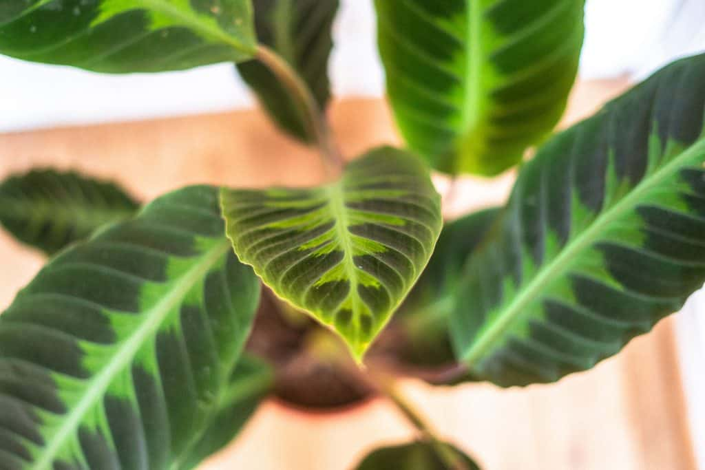 Goeppertia (Calathea) Warszewiczii Care Guide/ watering and propagating calathea