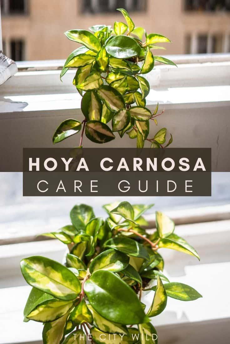 Hoya Carnosa Care Guide: Propagation & Watering Advice: wax plant porcelain plant: hoya care