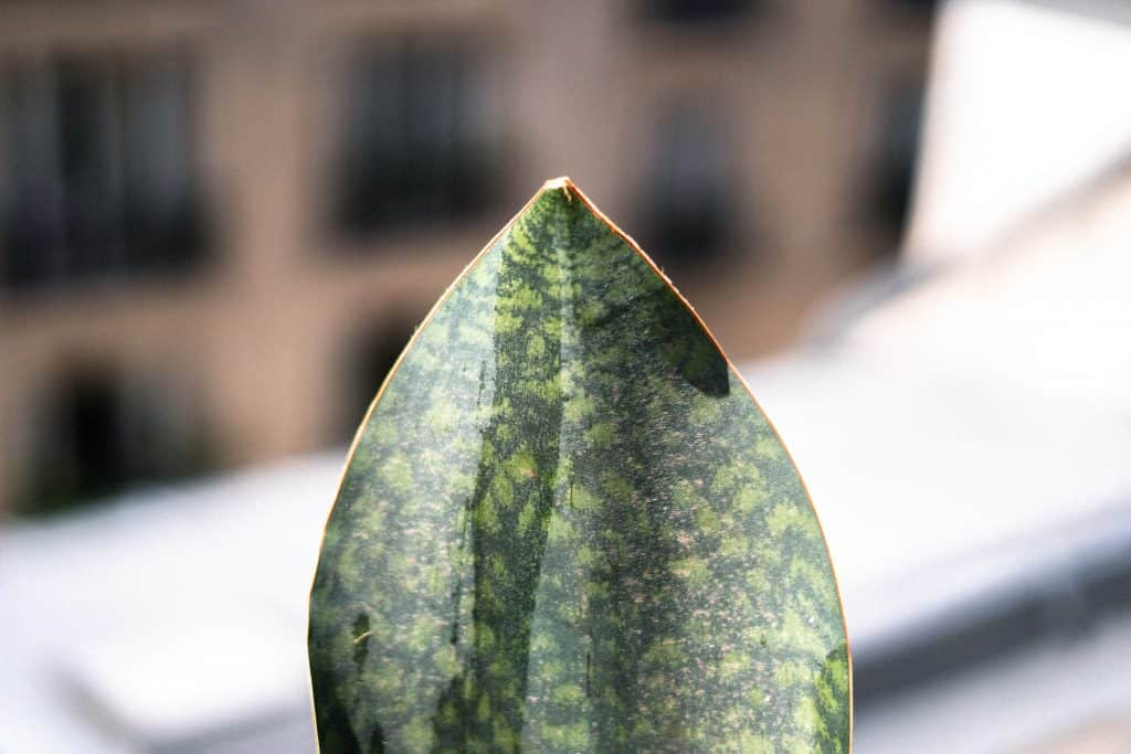 Sansevieria Masoniana (Whale Fin Snake Plant) Care Guide