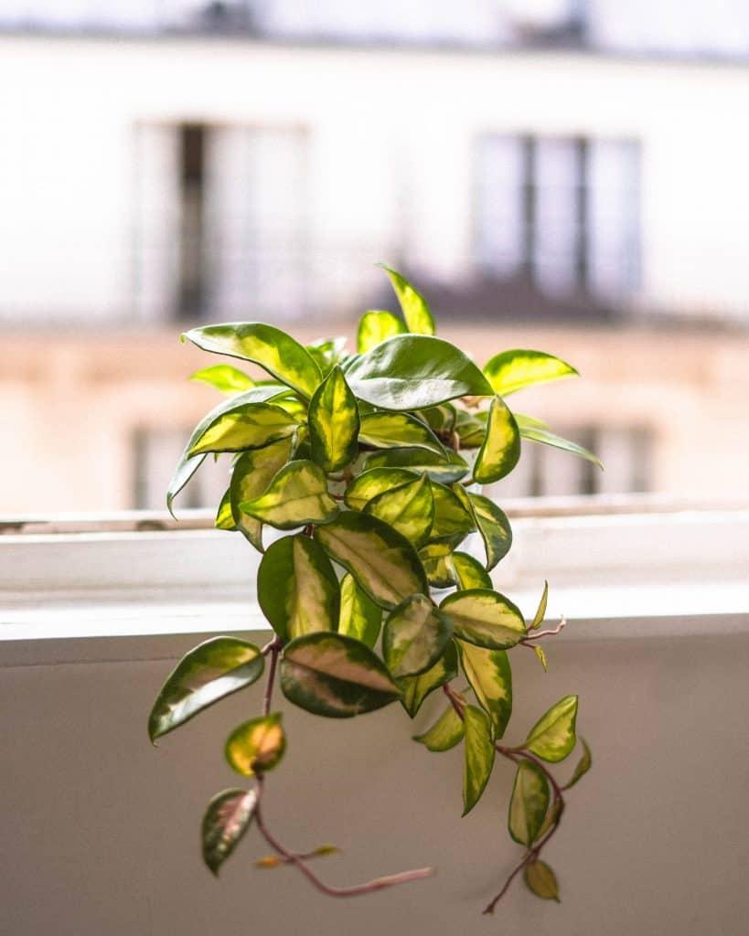Hoya Carnosa Care Guide: Propagation & Watering Advice