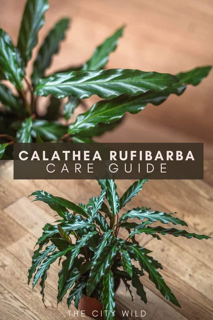 Calathea Rufibarba Care Guide (Water & Propagation Tips) for the furry feather calathea plant