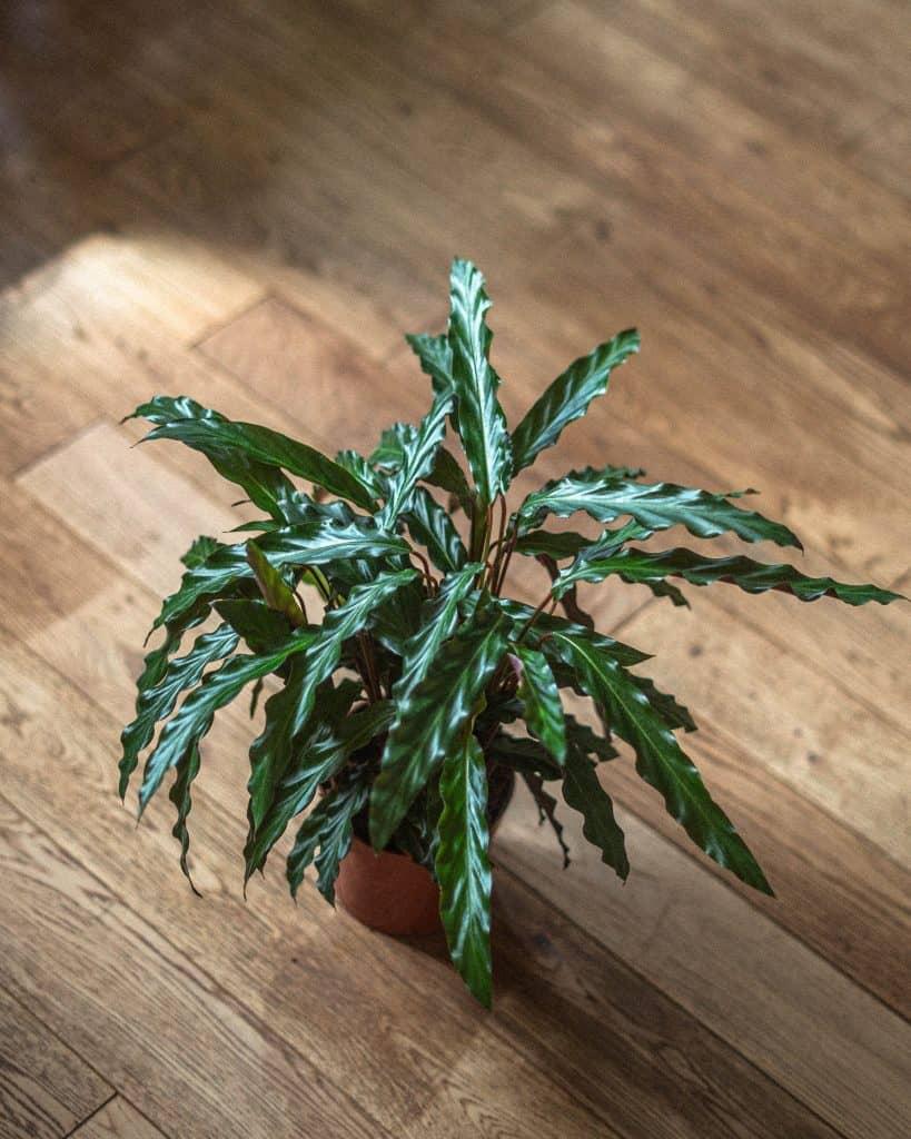 Calathea Rufibarba Care Guide (Water & Propagation Tips)