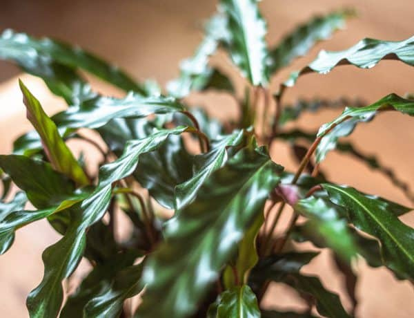 Calathea Rufibarba Care Guide (Water & Propagation Tips)