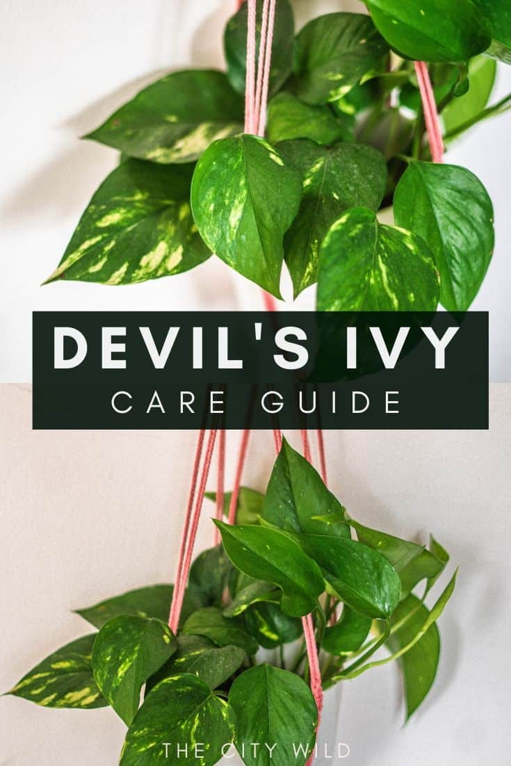 Devil's Ivy Care Guide (Epipremnum aureum) Care Guide; watering tips and how to propagate golden pothos plant