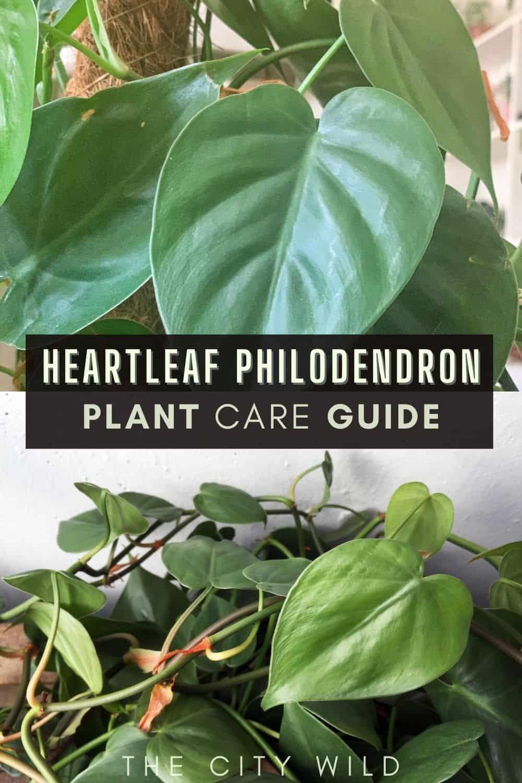 Heartleaf Philodendron (Philodendron scandens)