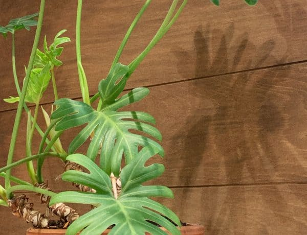 Philodendron Selloum/ Philodendron Bipinnatifidum Care Guide