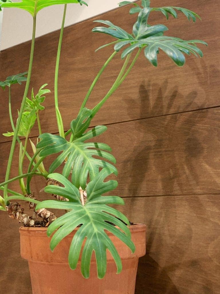 Philodendron Selloum/ Philodendron Bipinnatifidum Care Guide