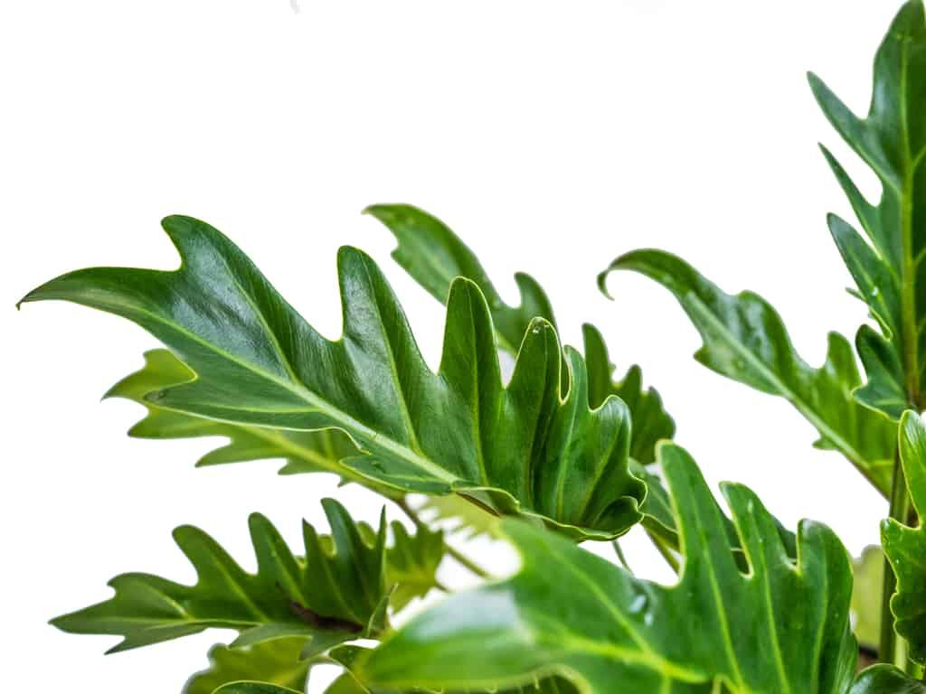 Philodendron Selloum/ Philodendron Bipinnatifidum