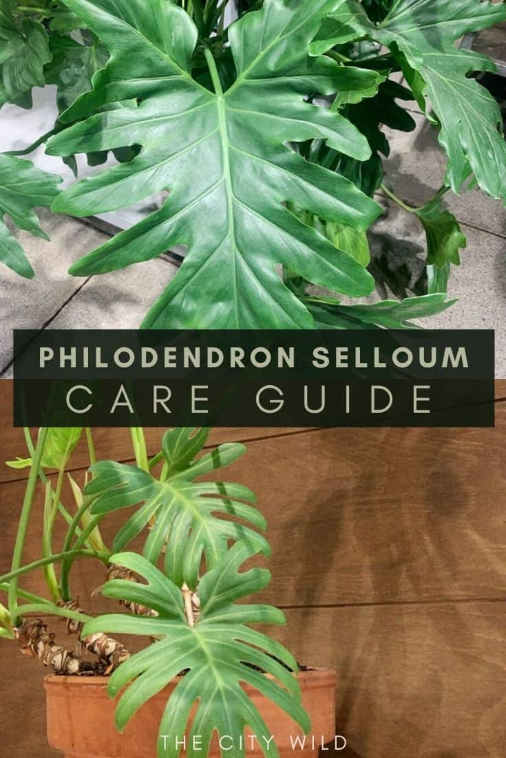 Philodendron Selloum/ Philodendron Bipinnatifidum Care Guide/ watering tips, propagation, and light conditions for philodendron plant