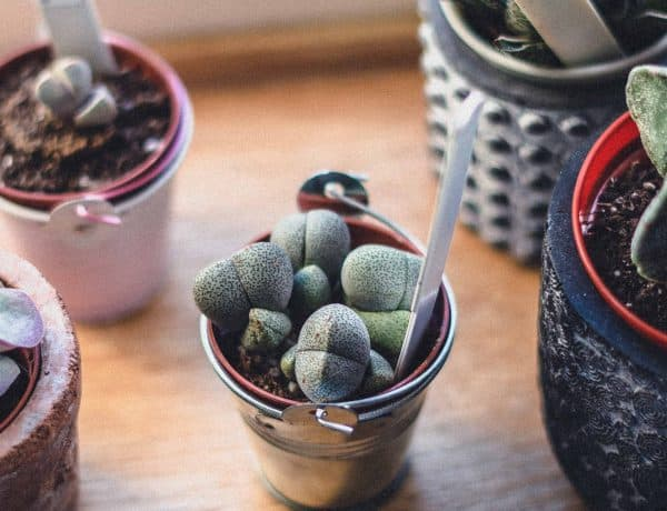 Pleiospilos nelii (Split Rock Succulent) Care Guide