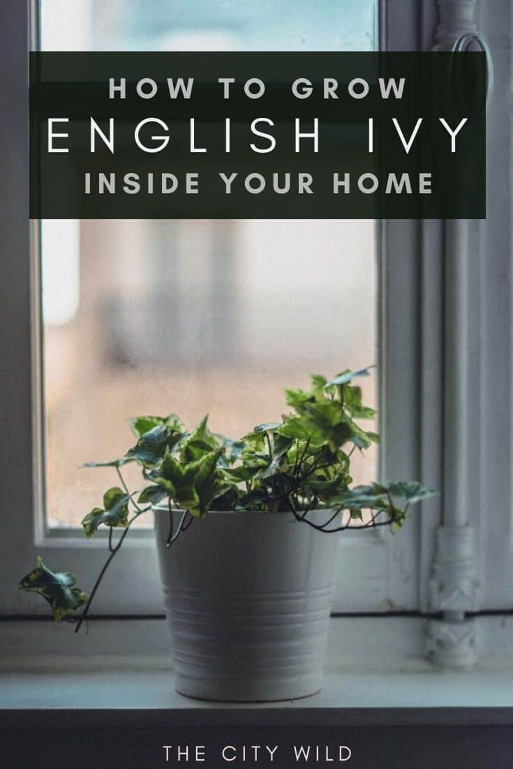 Tips for Growing Ivy Indoors (Hedera Helix): Watering & Care Guide for ivy plants