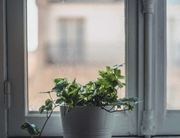 Tips for Growing Ivy Indoors (Hedera Helix): Watering & Care Guide
