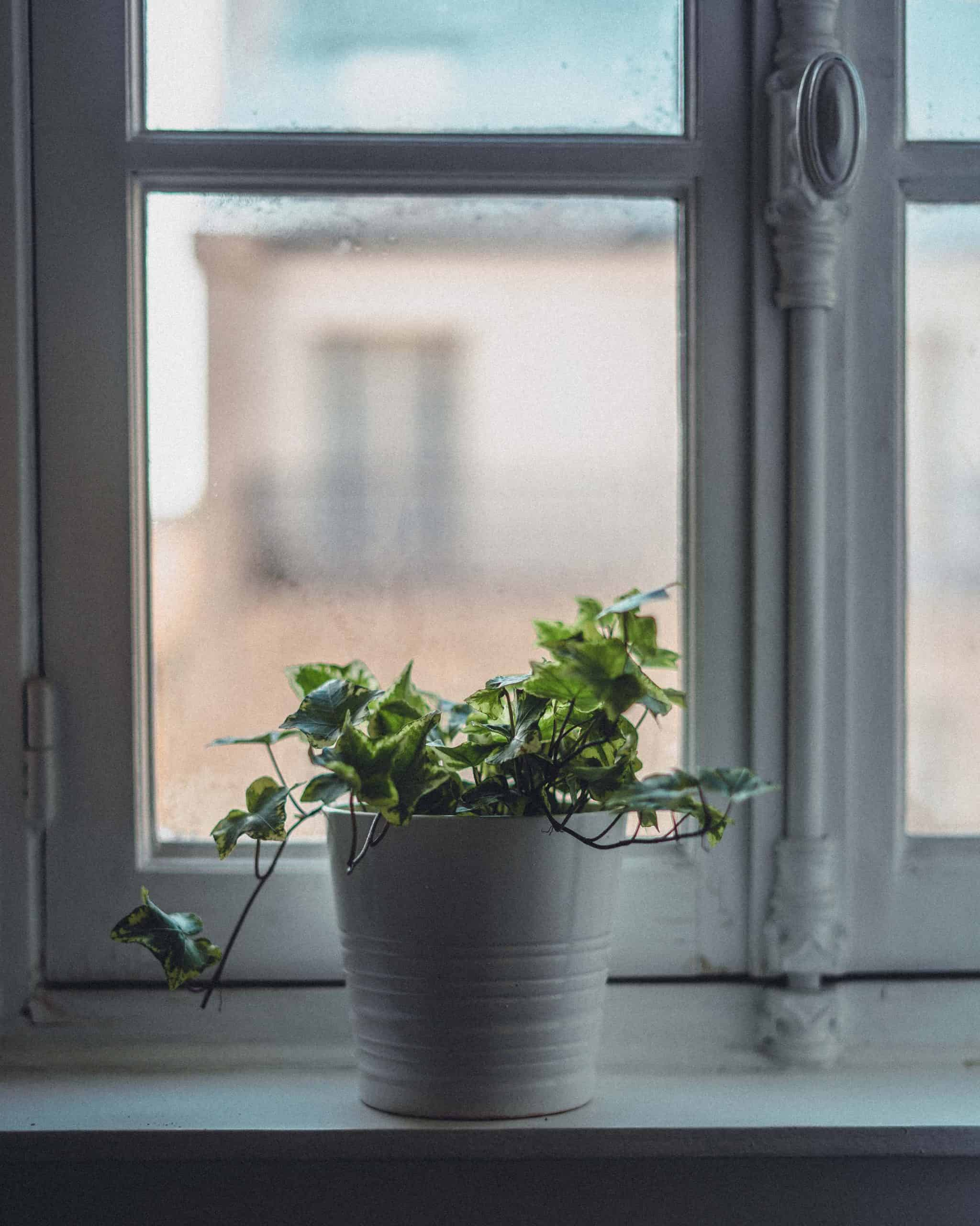 Tips For Growing Ivy Indoors Hedera Helix Watering Care Guide