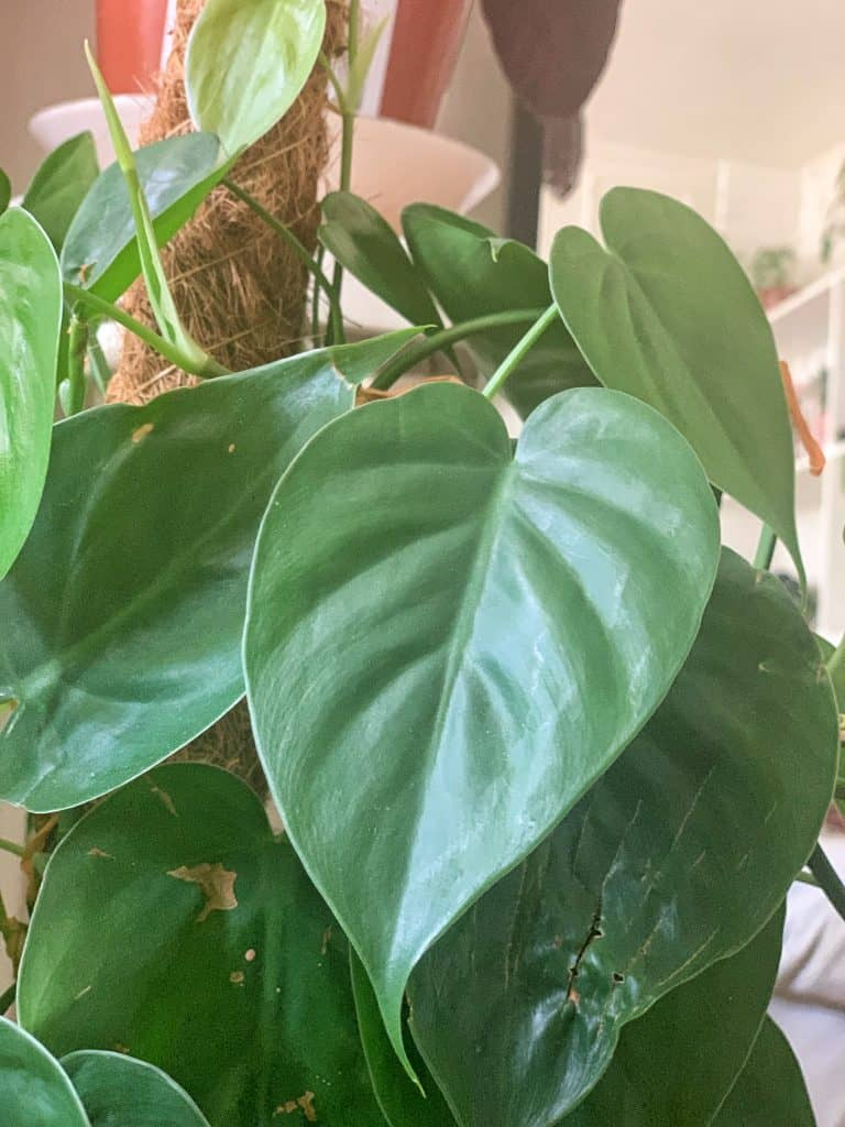 Heartleaf Philodendron (Philodendron scandens) Care Guide