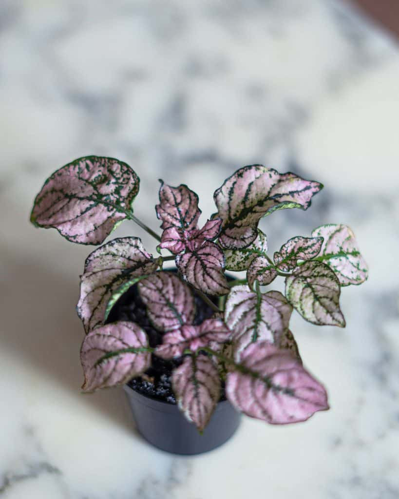 Polka Dot Plant Care Guide (Hypoestes phyllostachya)