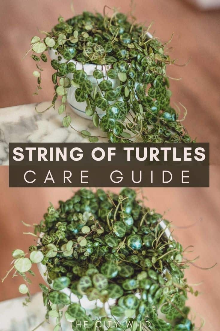 String of Turtles Care Guide (Peperomia Prostrata)/ watering tips/ propagation hacks Carnosa Care Guide: Propagation & Watering Advice: wax plant porcelain plant: hoya care