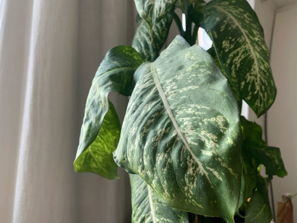 Why are the leaves of my Dieffenbachia curling?