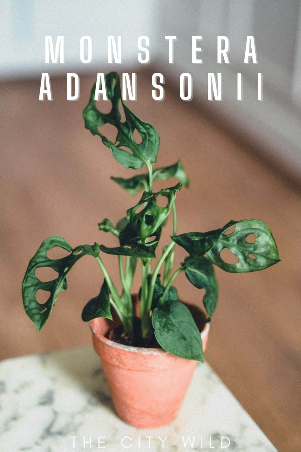 Monstera Adansonii Care Guide (Monkey Mask Monstera)
