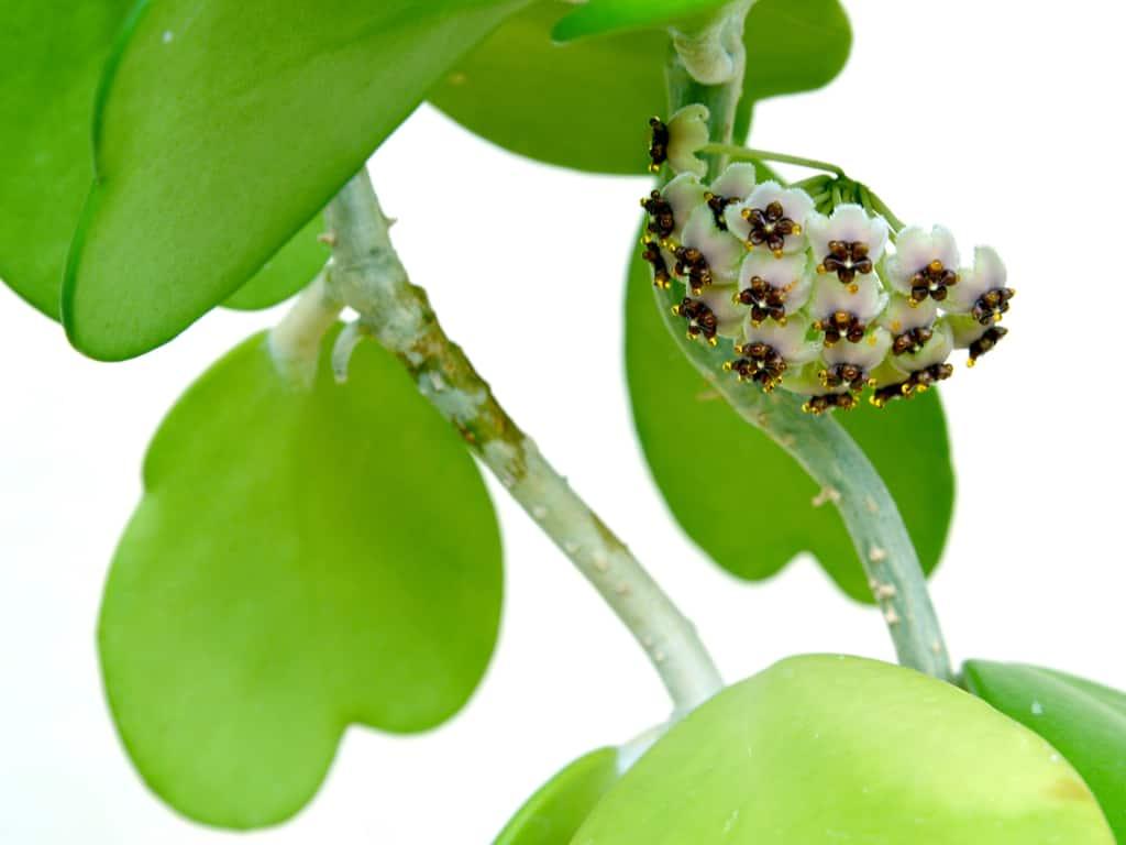 hoya kerrii flower