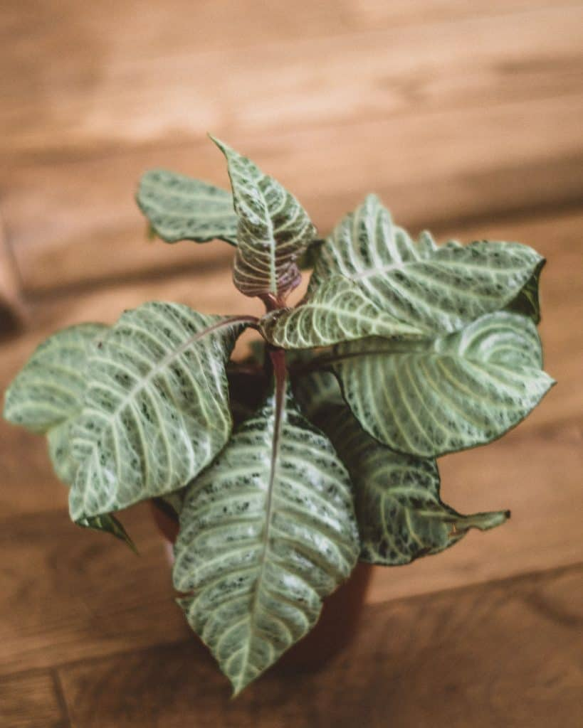 Aphelandra Squarrosa White Wash Care Guide (Zebra Plant)