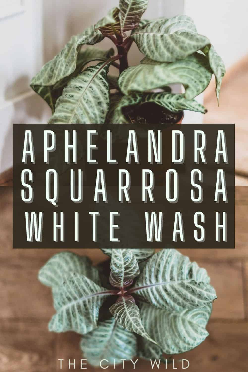 Aphelandra Squarrosa White Wash Care Guide (Zebra Plant)/ propagation, watering