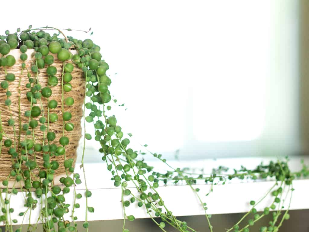 String of Pearls Care Guide