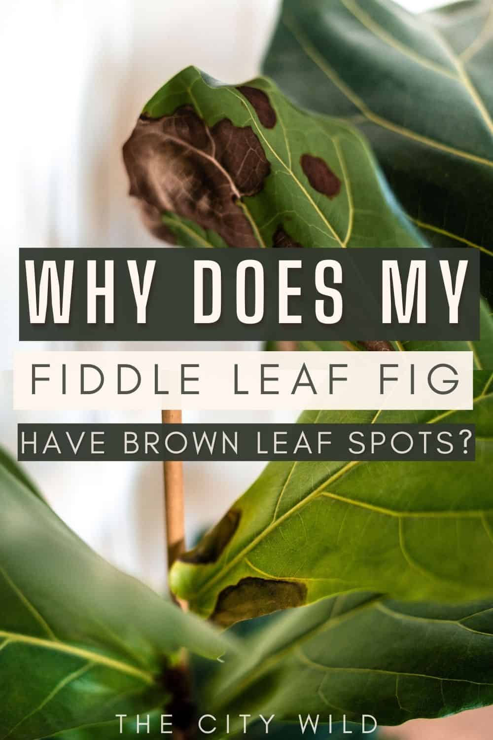 Why is my Fiddle Leaf Fig Getting Brown Spots?