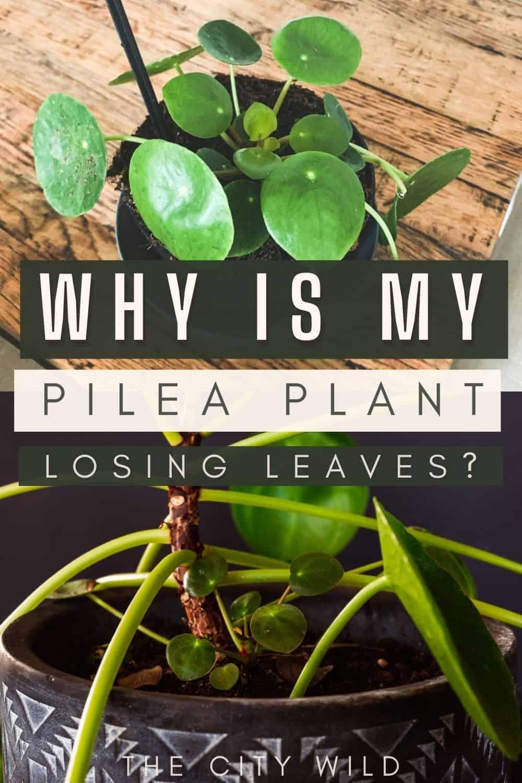 Why is my Pilea Losing Leaves