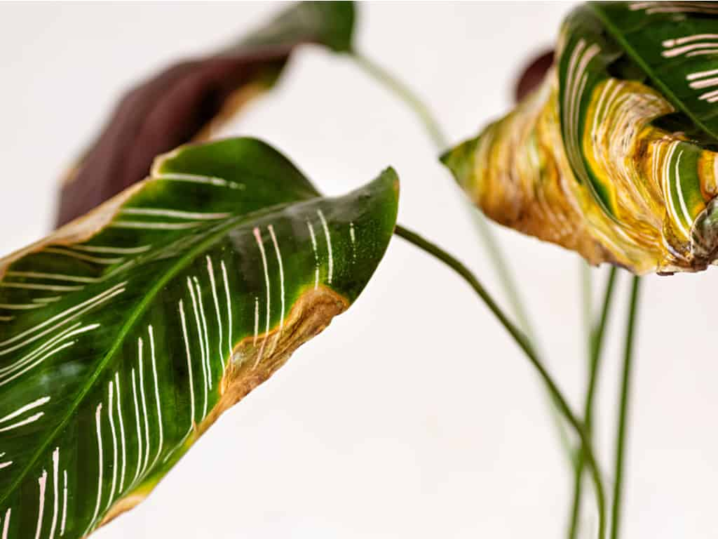 Why does my Calathea have brown tips on the Leaf Edges?