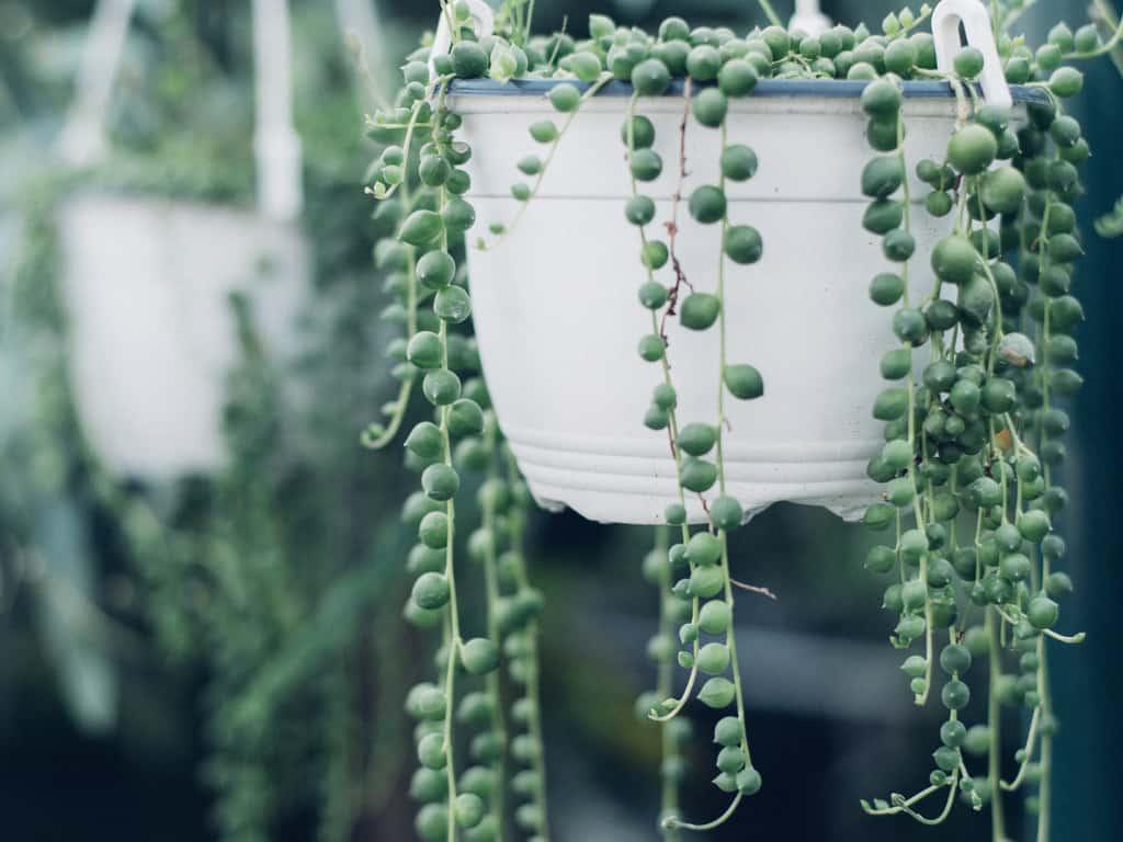 String of Pearls Care Guide (Senecio rowleyanus/ Curio rowleyanus)