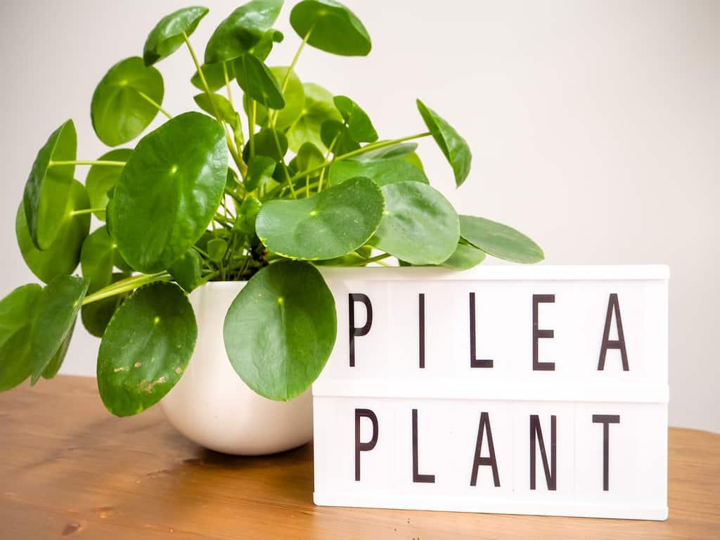 pilea plant