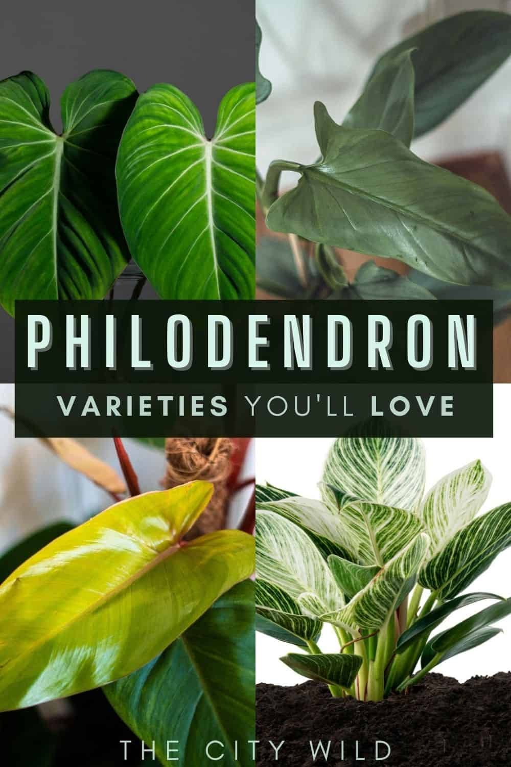 Best philodendron plants/ Beautiful Philodendron Varieties for Your Indoor Garden