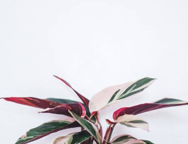 Calathea Triostar Care Guide