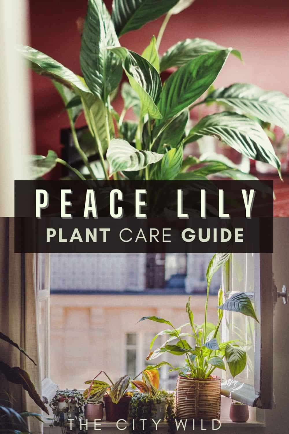 Peace Lily Care Guide: Spathiphyllum Tips & Tricks (peace lily propagation, watering, pests)