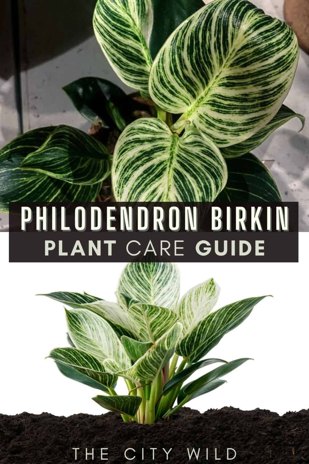 Philodendron Birkin Care Guide/ philodendron propagation, watering hacks and care tips