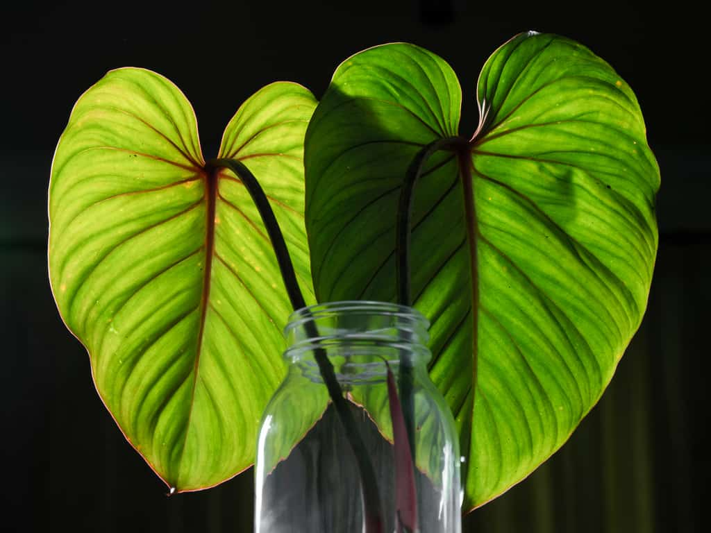 Philodendron gloriosum care tips and tricks