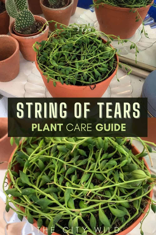 String of Tears/ String of Lemons Care Guide (Curio herreaeus)
