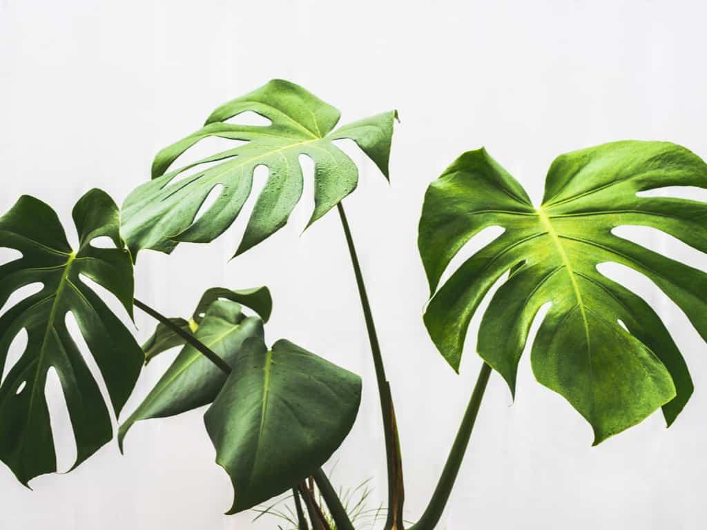 monstera deliciosa fenestrated leaves
