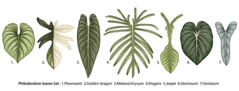 Beautiful Philodendron Varieties for Your Indoor Garden