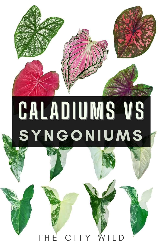 Caladium vs Syngonium (Differences & Similarities)