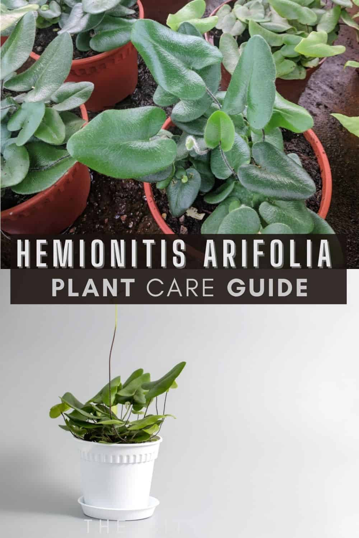 Hemionitis arifolia Care Guide (Heart leaf fern/ Tongue fern)/ watering tips, propagation advice